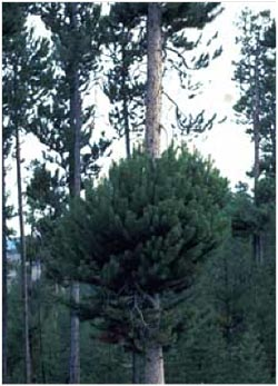 Large witches' broom on dwarf mistletoe-infected lodgepole pine